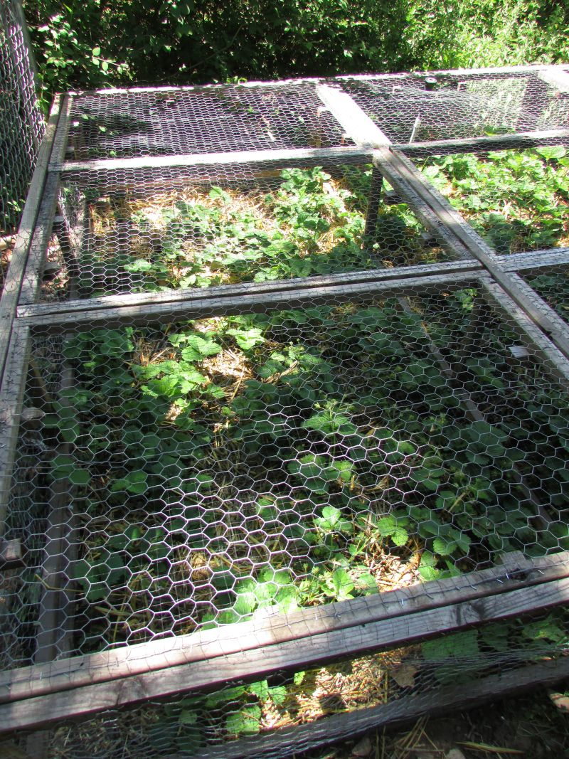 Squirrel-Proofing your Strawberry Bed • Urban Overalls