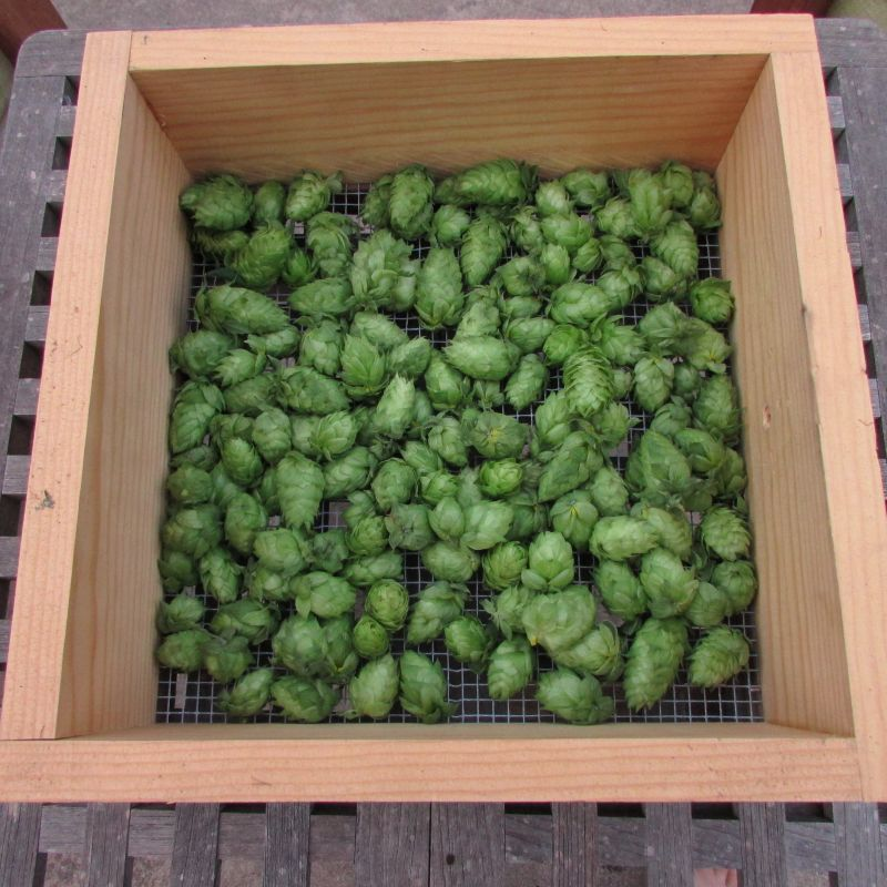 Hops on drying screen