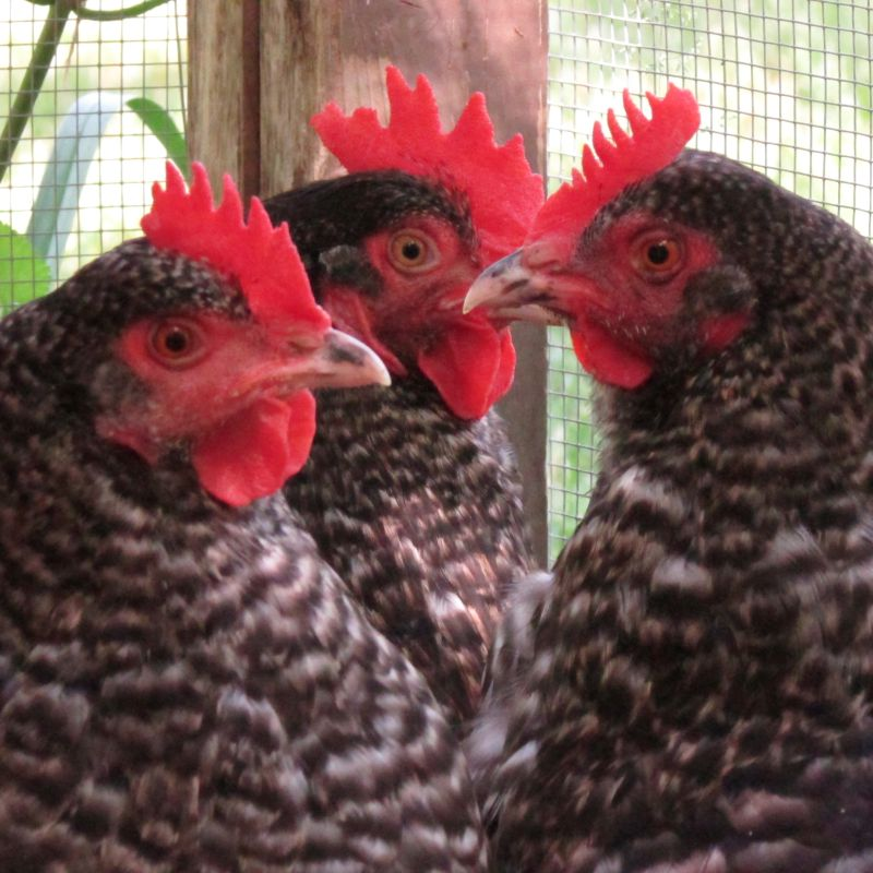 Backyard Chickens: City Ordinance Example