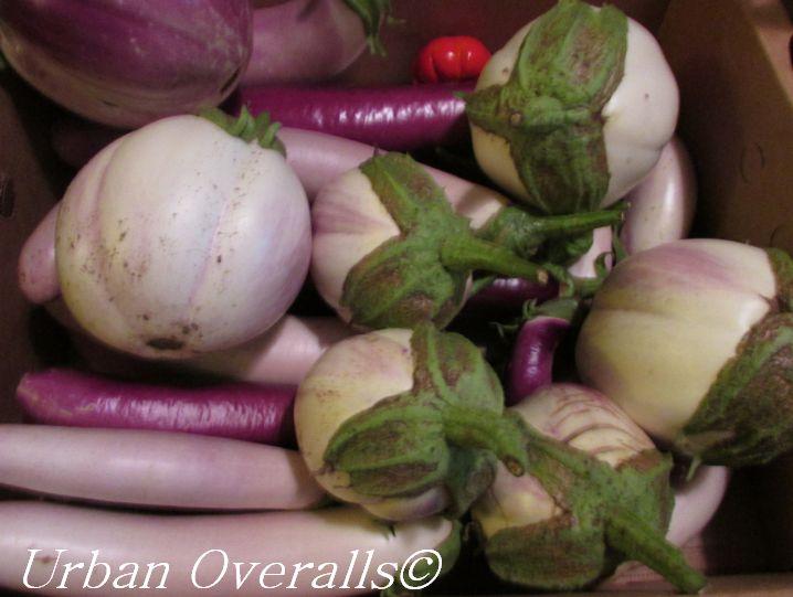 harvested eggplant