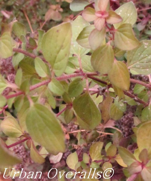 Preserving Oregano for Marvelous Meals