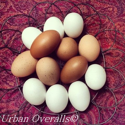fresh eggs from backyard chickens