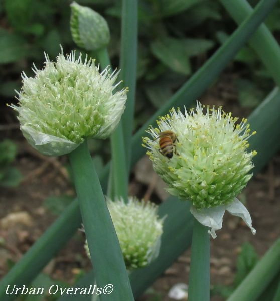 bee on onion bloom