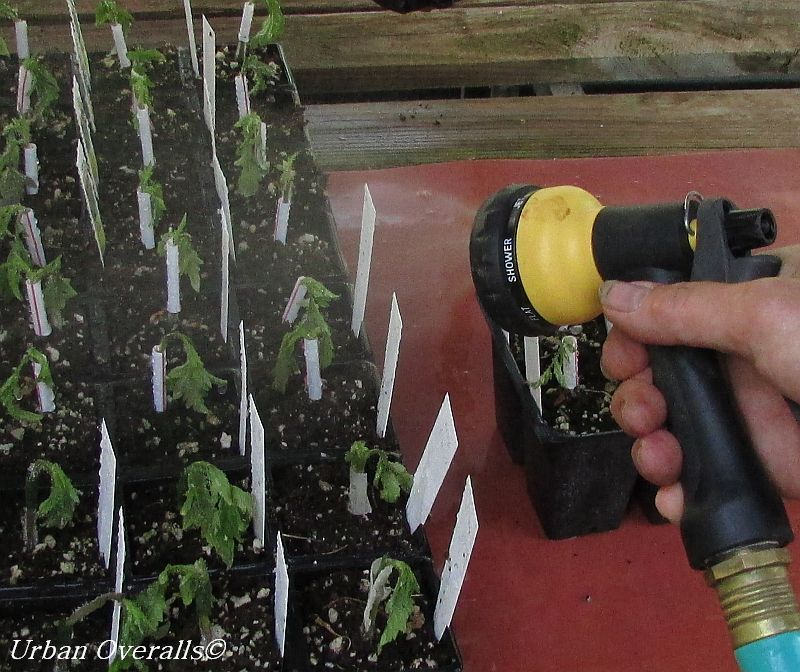 misting grafted tomatoes