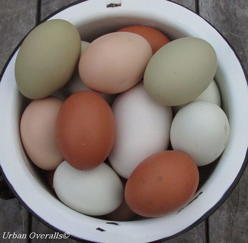 eggs from backyard chickens