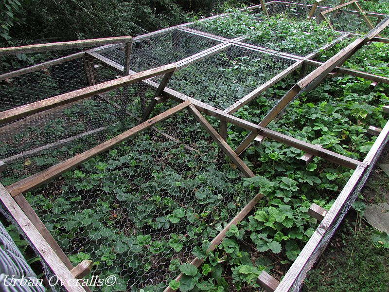 aftermath of raccoons in a protected strawberry bed