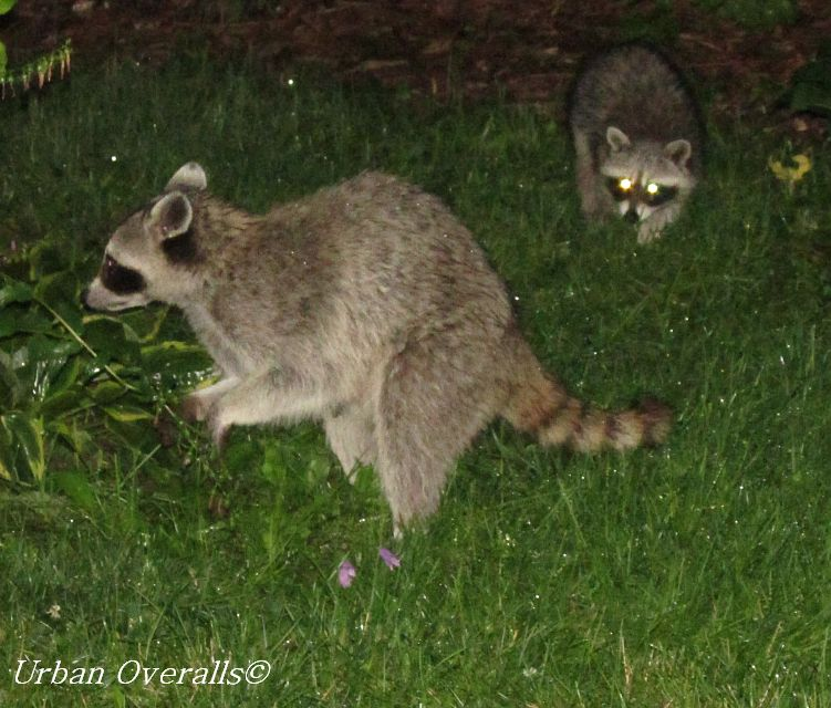 Raccoons the garden thieves urban overalls How to keep raccoons out of garden