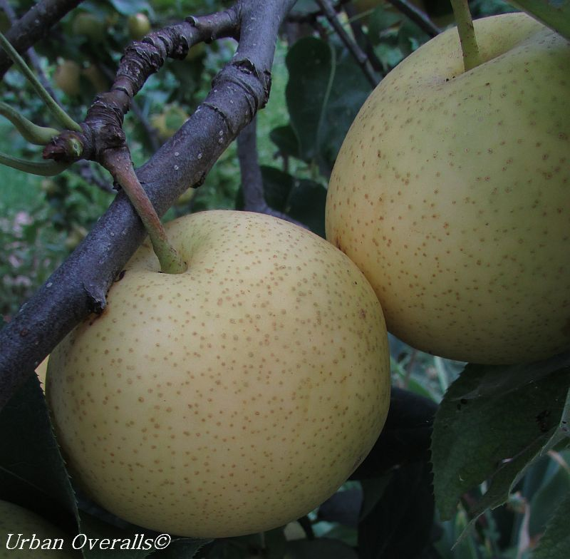 Asian Pears ripening on the tree