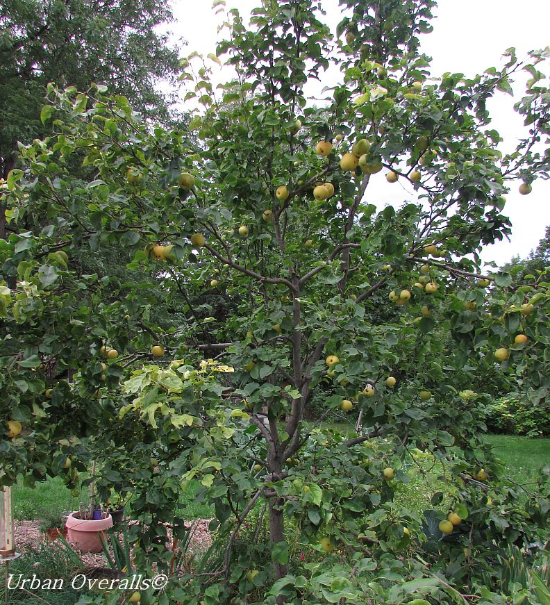 Asian pear tree picture