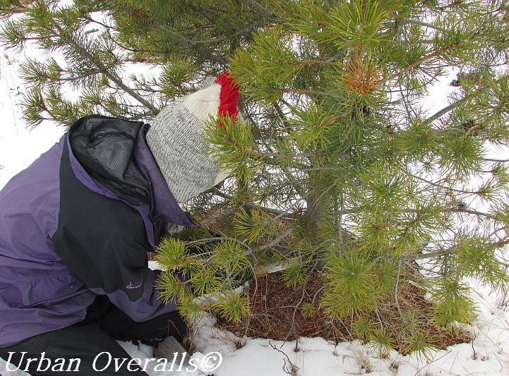 cutting a fresh Christmas tree with hand saw