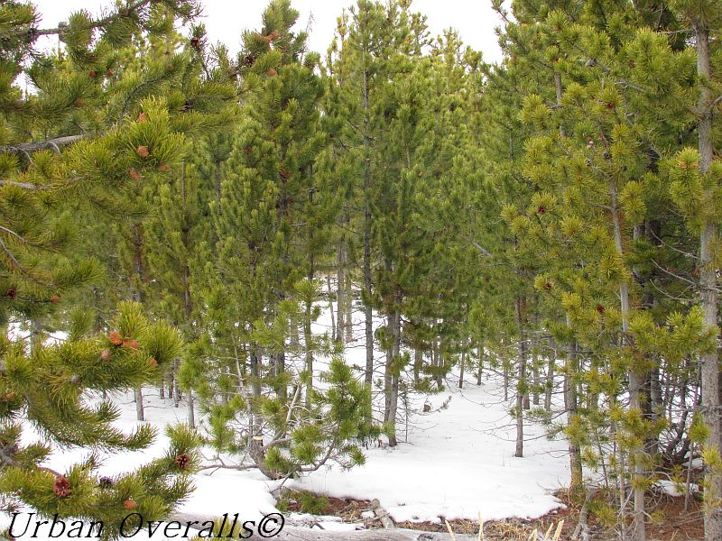 7 Reasons Why Christmas Tree Cutting Can Benefit a Forest