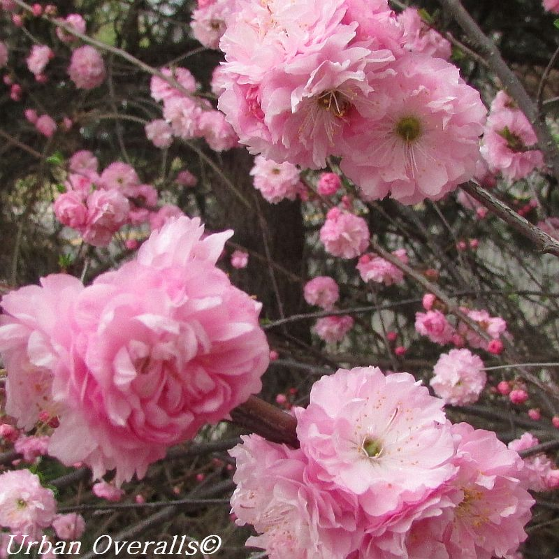 Perfect in pink flowering almond urban overalls profusion of double flowers mightylinksfo Images