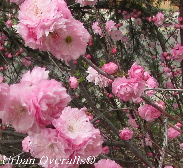 Perfect in pink flowering almond urban overalls double pink flowers mightylinksfo Images
