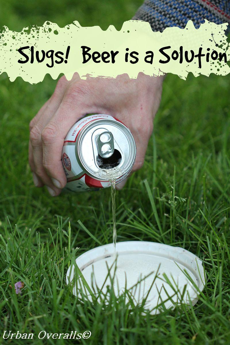 beer slug traps