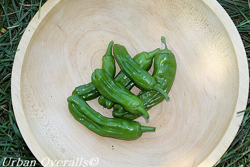 harvested shishito peppers