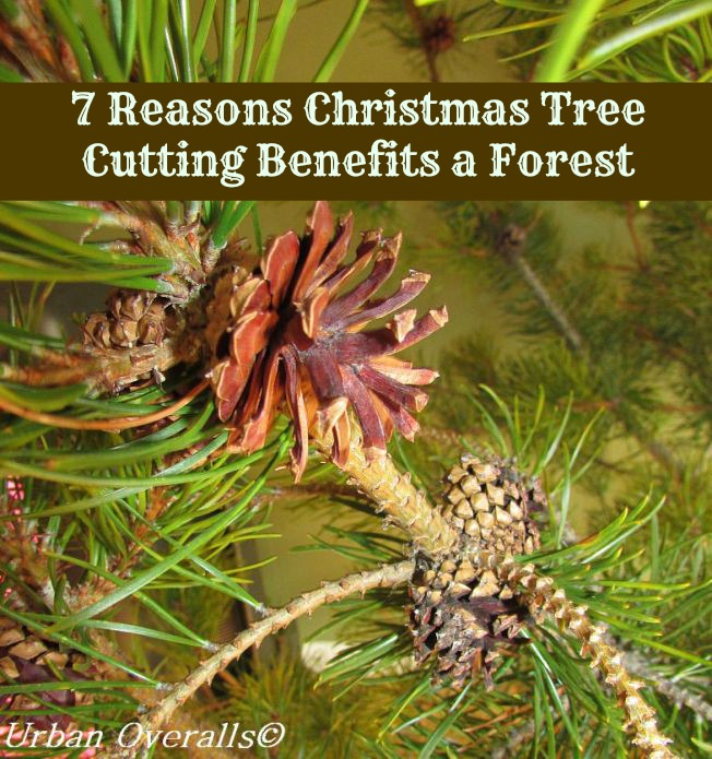 pine cones as natural decoration in a fresh tree