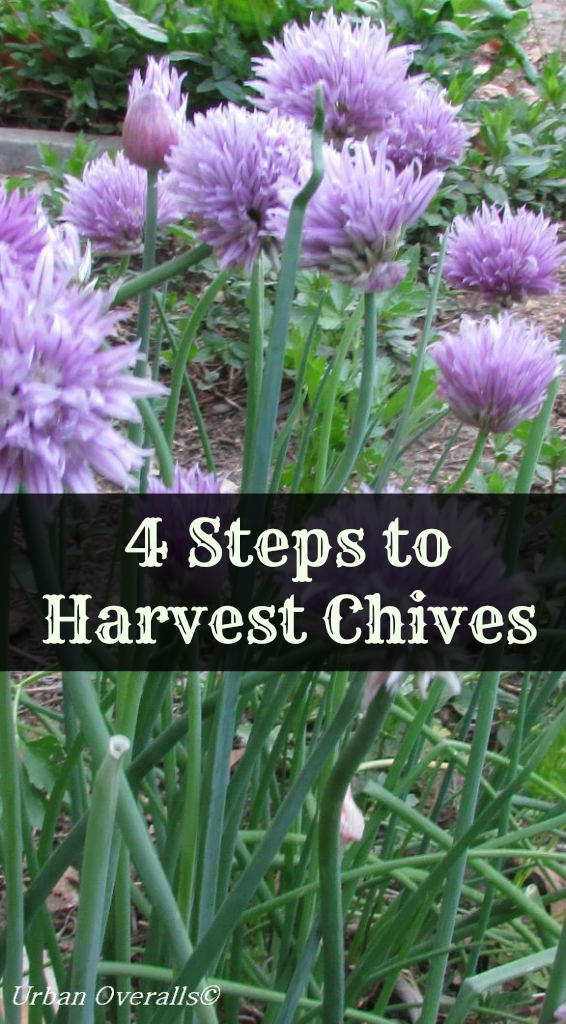 4 Steps to Harvest Chives