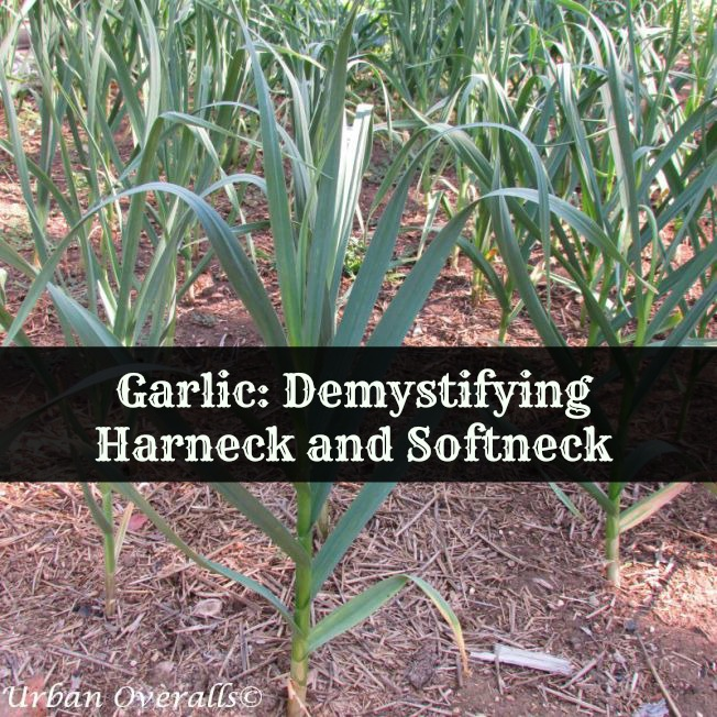 Garlic: Demystifying Hardneck and Softneck