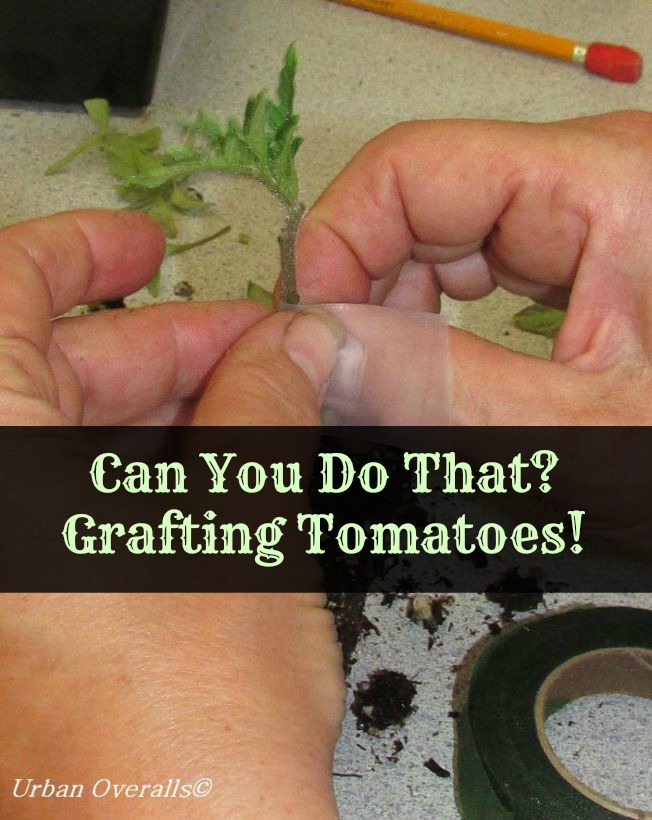 Can You Do That?  Grafting Tomatoes!