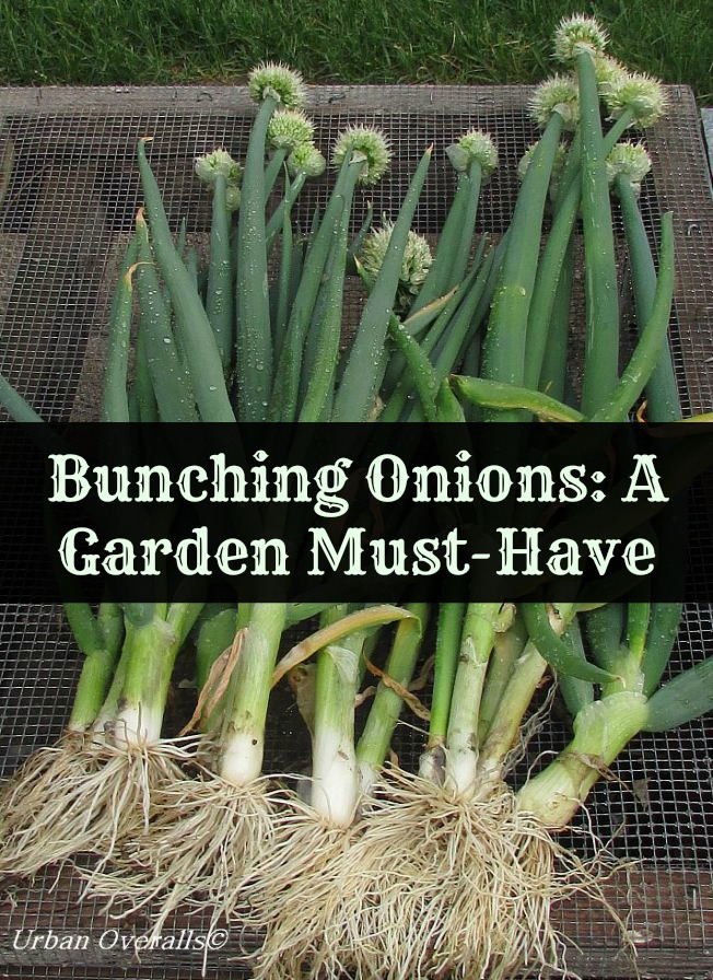 Bunching Onions: A Garden Must-Have