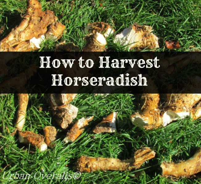 How to Harvest Horseradish