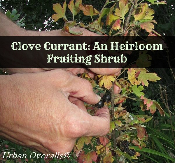 Clove Currant: An Heirloom Fruiting Shrub